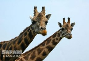 Giraffes at Safari Niagara, Stevensville Ontario