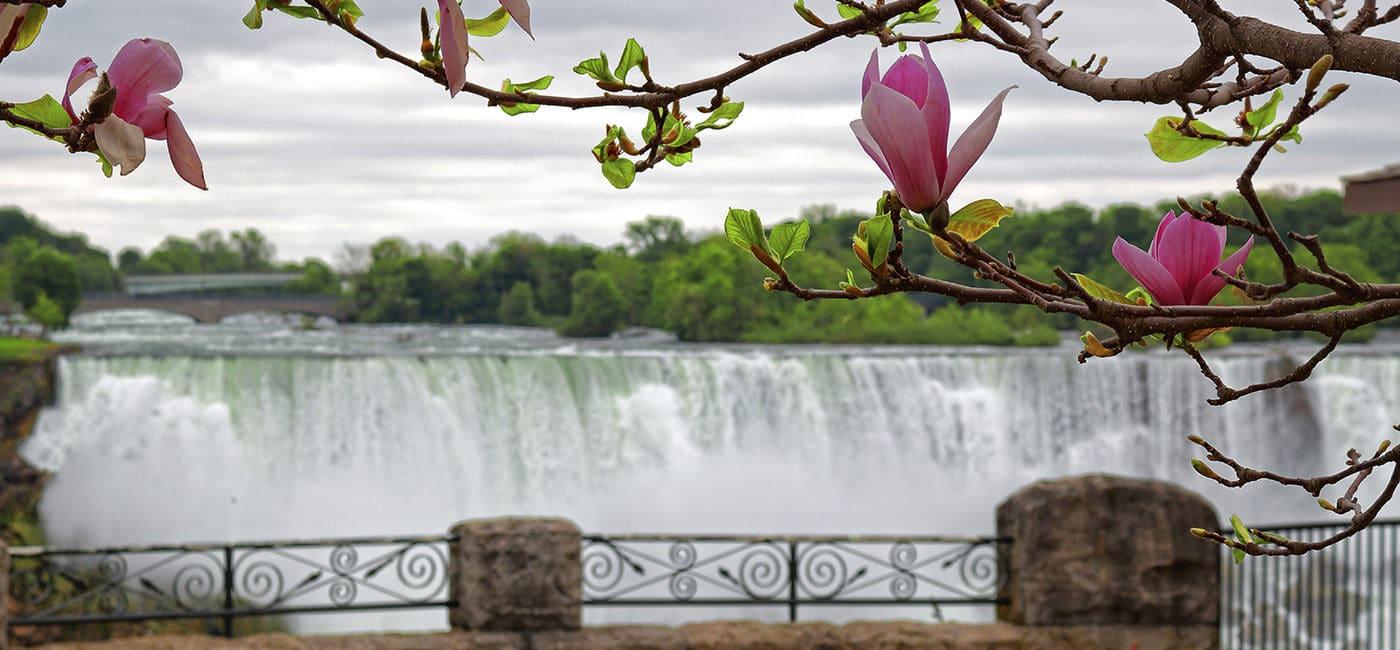 Niagara Falls Spring Magnolia