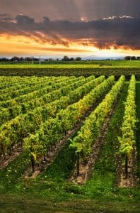 Vineyards in Niagara Region