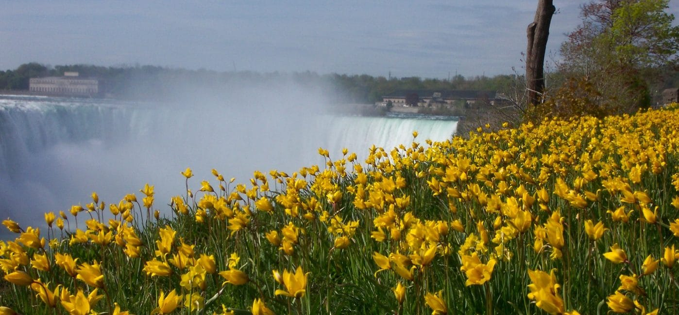 Niagara Falls with sunny Daffodils